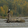 BALK EAGLE, CHILKAT RIVER, ALASKA