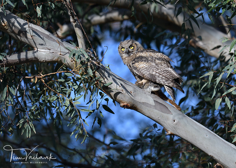 JUVENILE GREAT HORNED OWL, LAKE JENNINGS, CALIFORNIA