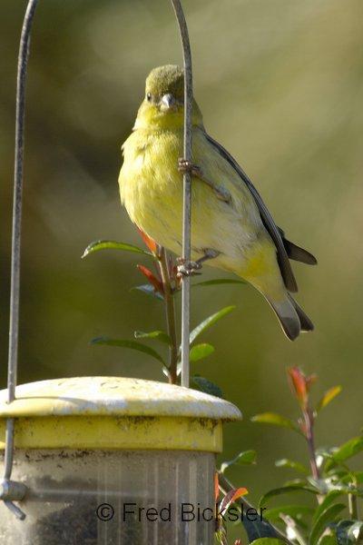 BIRDS 24<br /> Lesser goldfinch in my back yard