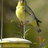 BIRDS 24<br /> Lesser goldfinch in my back yard