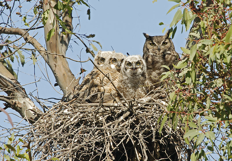 GREAT HORNED OWL ON NEST WITH YOUNG, LAKE JENNINGS, CALIFORNIA