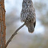 GREAT GRAY OWL, JACKSON HOLE , WYOMING