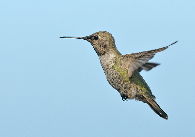 ANNAS HUMMING BIRD, LAKE JENNINGS, CALIFORNIA