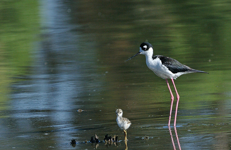 BLACK NECKED STILT AND CHICK, LINDO LAKE, CALIFORNIA
