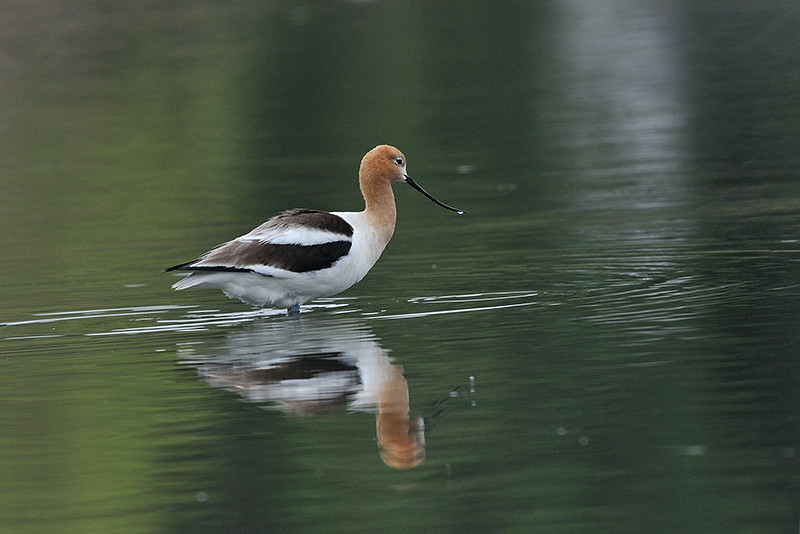 AVOCET, LINDO LAKE, CALIFORNIA