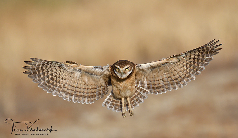 BURROWING OWL,ONTARIO, CALIFORNIA