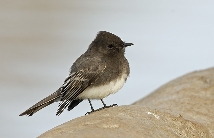BLACK PHOEBE, SANTEE LAKES, CALIFORNIA