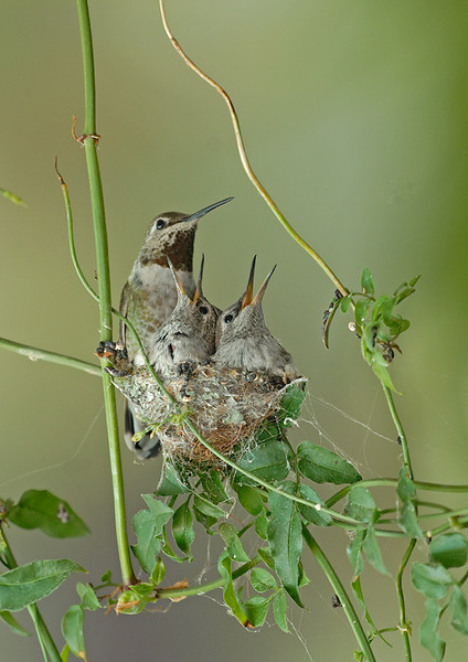 ANNA'S HUMMING BIRD AT NEST WITH YOUNG, LA MESA, CALIFORNIA