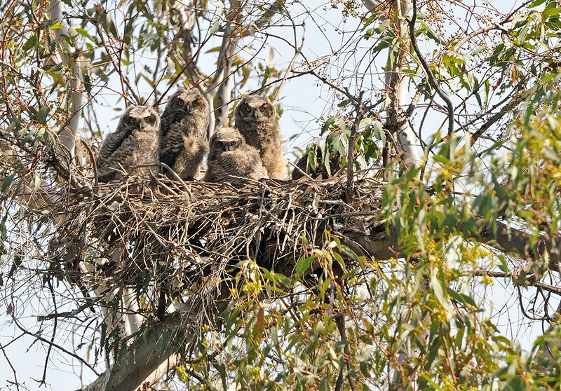 GREAT HORNED OWL CHICKS, LAKE JENNINGS, CALIFORNIA