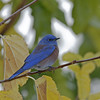 WESTERN BLUE BIRD, LAKE JENNINGS, CALIFORNIA