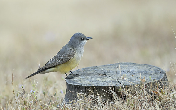 WESTERN KING BIRD,LAKE JENNINGS, CALIFORNIA