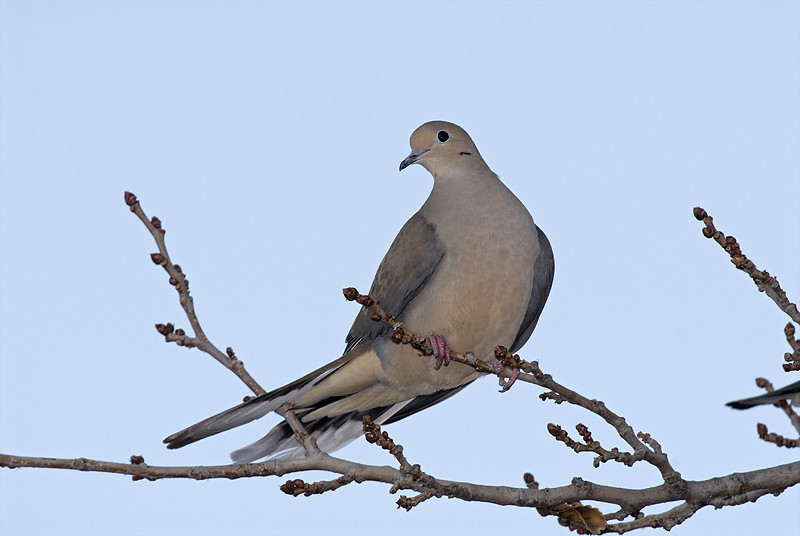 MORNING DOVE, LAKE JENNINGS, CALIFORNIA