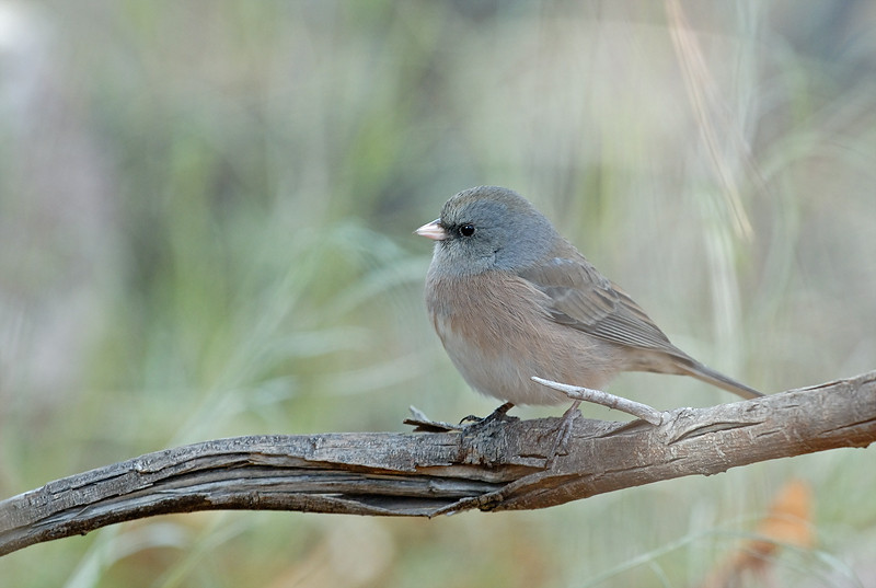 JUNCO, BOSQUE DEL APACHE N.W.R., NEW MEXICO