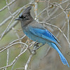 STELLERS JAY, SEQUOIA NATIONAL FOREST, CALIFORNIA