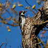 ACORN WOODPECKER, DUNLAP, CALIFORNIA