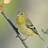 LESSER GOLDFINCH, LAKE JENNINGS, CALIFORNIA