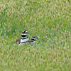 KILLDEER MOTHER AND CHICK, LINDO LAKE, CALIFORNIA