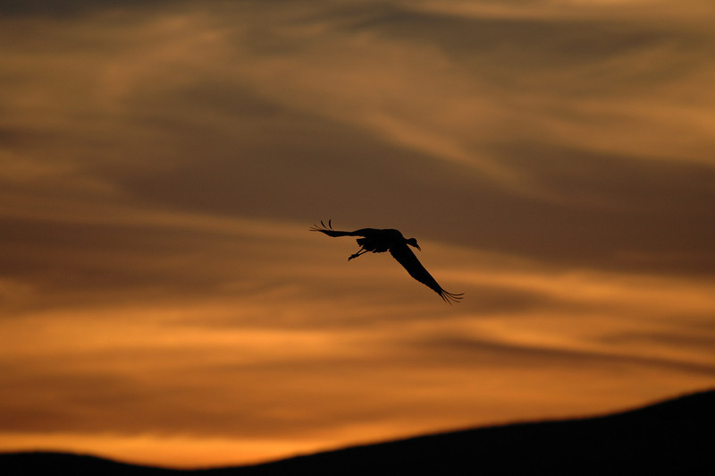 SANDHILL CRANE AT SUNSET, BOSQUE DEL APACHE N.W.R., NEW MEXICO