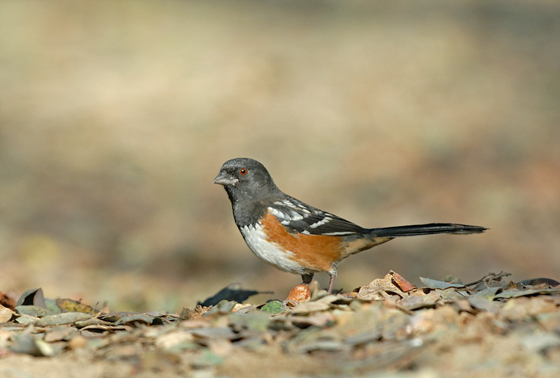 SPOTTED TOWHEE, DUNLAP, CALIFORNIA