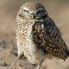 BURROWING OWL, CIBOLA N.W.R., ARIZONA