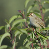 JUVENILE WHITE CROWNED SPARROW, LAKE JENNINGS, CALIFORNIA