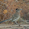 ROADRUNNER, CIBOLA N.W.R., ARIZONA