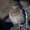 BURROWING OWL, SAN DIEGO RIVER CHANNEL