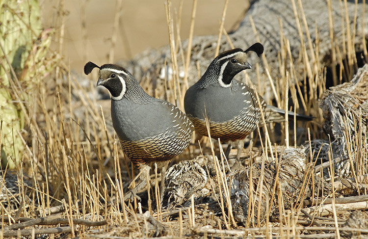 CALIFORNIA QUAIL, LAKE JENNINGS, CALIFORNIA