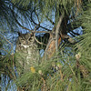 GREAT HORNED OWL, LAKE JENNINGS, CALIFORNIA