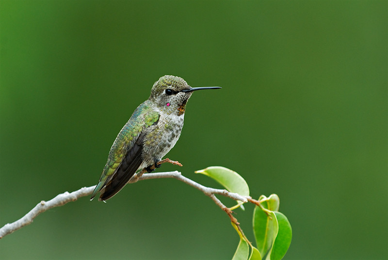 ANNA'S HUMMING BIRD, LAKE JENNINGS, CALIFORNIA