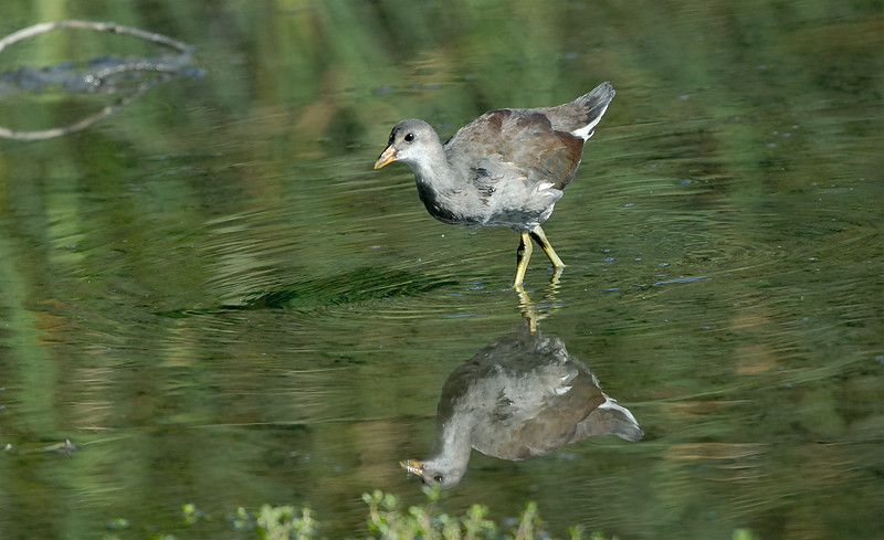 JUVENILE MOORHEN, LINDO LAKE, CALIFORNIA
