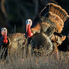 WILD TURKEYS, CUYAMACA STATE PARK, CALIFORNIA