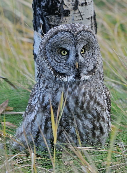 GREAT GRAY OWL, JACKSON HOLE, WYOMING