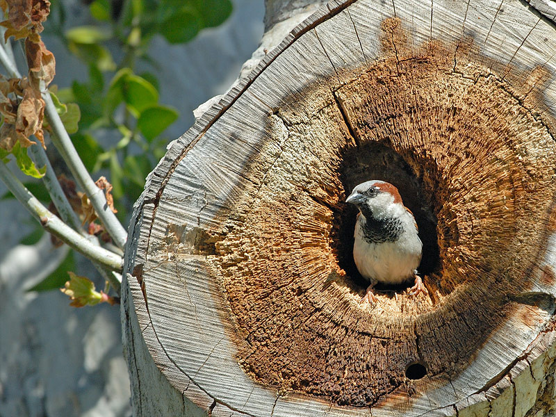 HOUSE SPARROW AT NEST, SANTEE LAKES, CALIFORNIA