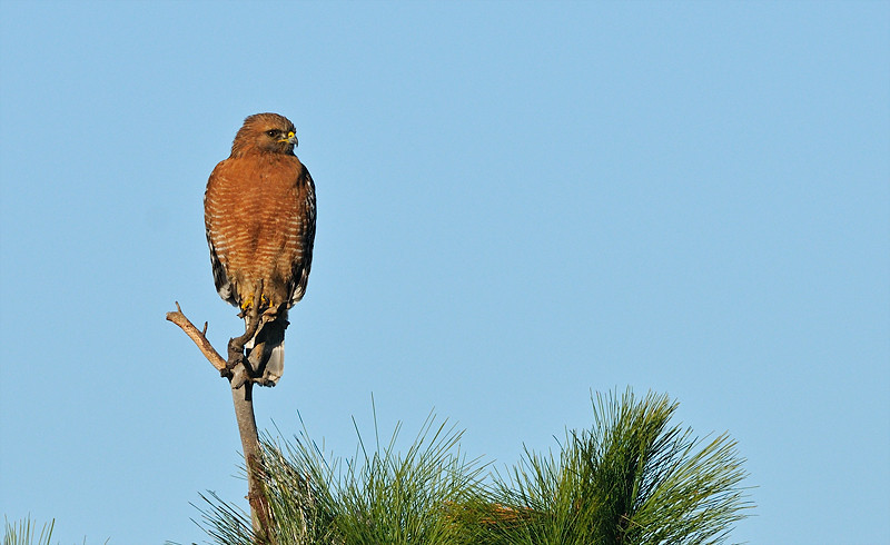 RED SHOULDERED HAWK, LAKE JENNINGS, CALIFORNIA