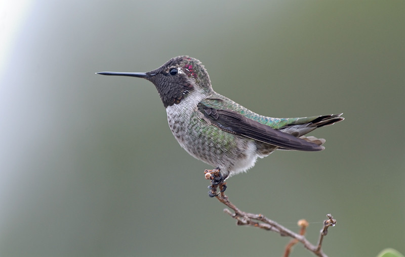 BLACK CHINNED  HUMMING BIRD, LAKE JENNINGS, CALIFORNIA