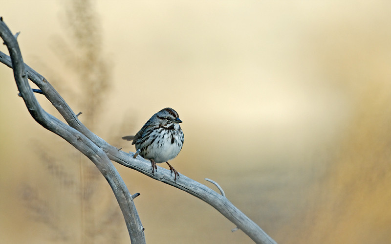 SONG SPARROW, CUYAMACA STATE PARK, CALIFORNIA
