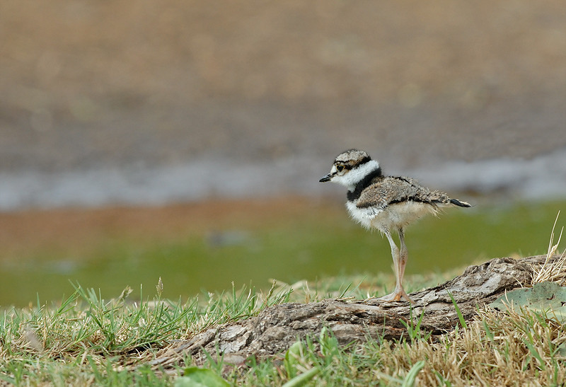KILLDEER CHICK, LINDO LAKE, CALIFORNIA