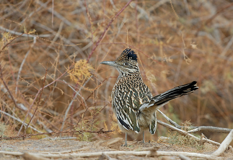 ROAD RUNNER, CIBOLA N.W.R., ARIZONA