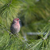 HOUSE FINCH, LAKE JENNINGS, CALIF.