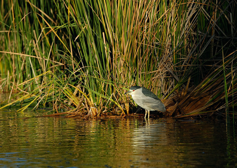 BLACK CROWNED NIGHT HERON, SANTEE LAKES, CALIFORNIA