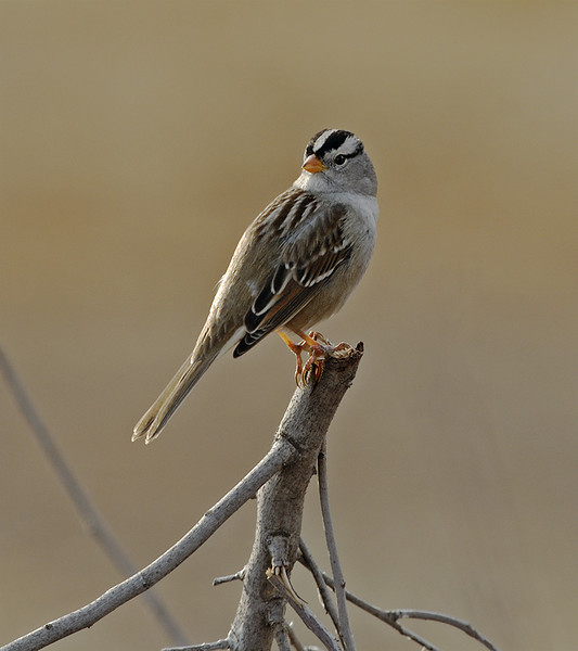 WHITE CROWNED SPARROW, LAKE JENNINGS, CALIFORNIA
