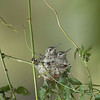 YOUNG ANNA'S HUMMING BIRDS ON NEST, LA MESA, CALIFORNIA