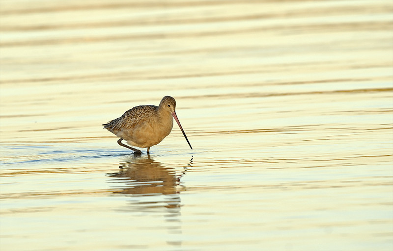MARBLED GODWIT, MISSION BAY, CALIFORNIA