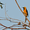 ORIOLE, LAKE JENNINGS, CALIFORNIA