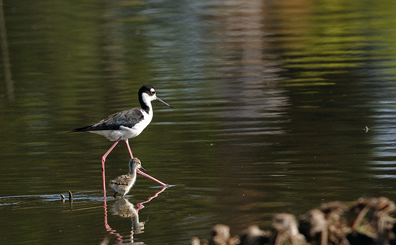 BLACK NECKED STILT WITH CHICK, LINDO LAKE, CALIFORNIA