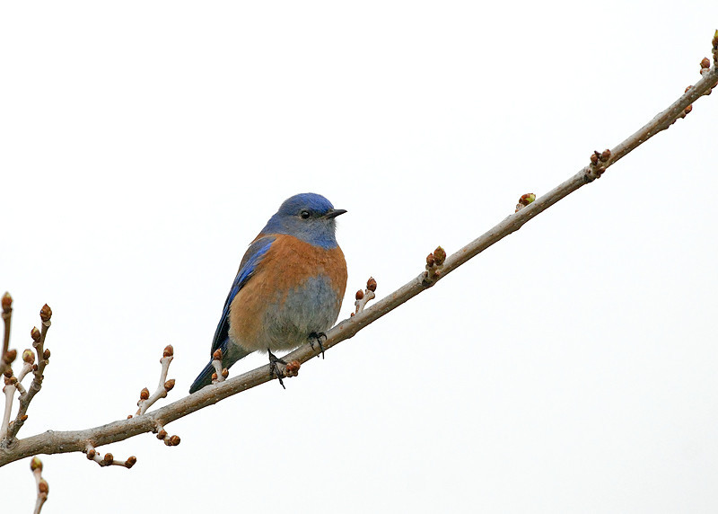 WESTERN BLUEBIRD, LAKE JENNINGS, CALIFORNIA