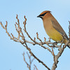 CEDER WAXWING, LAKE JENNINGS , CALIFORNIA