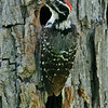MALE NUTTALL'S WOODPECKER, LINDO LAKE, CALIFORNIA