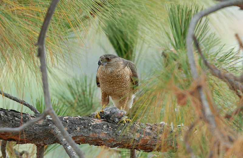 COOPERS HAWK WITH KILL, LAKE JENNINGS, CALIFORNIA